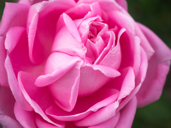 Rose Tonique petales Pink rose up close at the garden